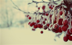Winter, red berries, snow, blurry HD wallpaper