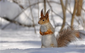 Winter squirrel HD wallpaper