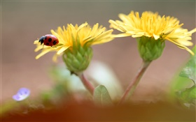Yellow flowers, ladybug HD wallpaper