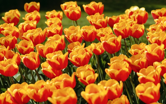 Yellow red tulip flowers Wallpapers Pictures Photos Images