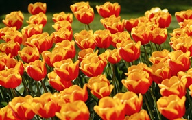 Yellow red tulip flowers HD wallpaper