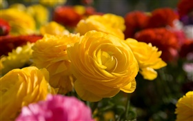 Yellow rose flowers close-up HD wallpaper