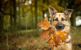 Autumn, dog, leaf, bokeh HD wallpaper
