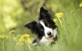 Border collie, dog, flowers, grass HD wallpaper