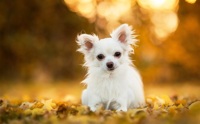 Chihuahua dog, white puppy, leaves, bokeh Wallpapers Pictures Photos Images