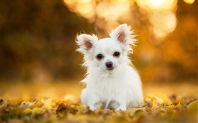 Chihuahua dog, white puppy, leaves, bokeh HD wallpaper