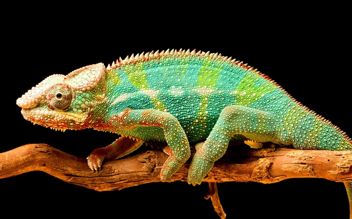 Colorful chameleon, reptile, black background Wallpapers Pictures Photos Images