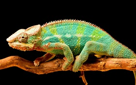 Colorful chameleon, reptile, black background HD wallpaper