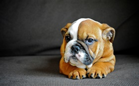 Cute English bulldog, puppy HD wallpaper