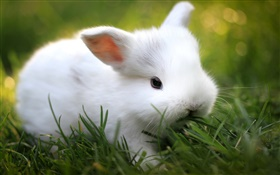 Cute white rabbit in grass HD wallpaper