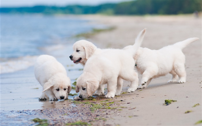 Four white dogs, play, beach Wallpapers Pictures Photos Images
