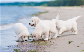 Four white dogs, play, beach HD wallpaper