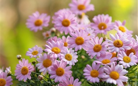 Pink chamomile flowers, petals, blurring HD wallpaper