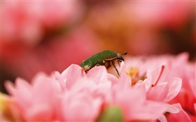 Pink flowers, insect HD wallpaper