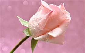 Pink rose flower, water drops, dew