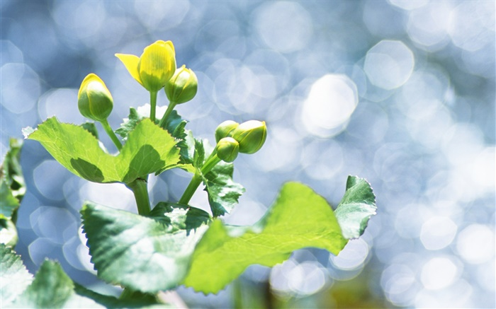 Plants close-up, yellow flower buds, glare Wallpapers Pictures Photos Images