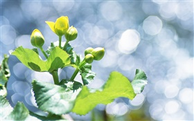 Plants close-up, yellow flower buds, glare HD wallpaper