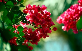 Red bougainvillea flowers HD wallpaper