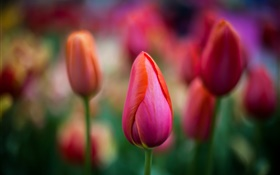 Red tulips close-up, flowers, bokeh HD wallpaper