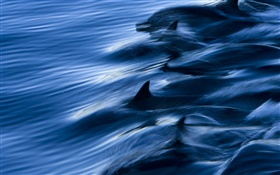 Sea, dolphins, speed, water, splash HD wallpaper