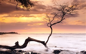 Single tree, sunset, sea, red sky, Hawaii, USA