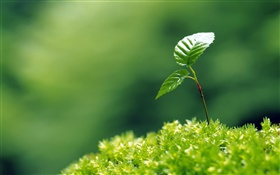 Small trees bud, two leaves, spring HD wallpaper