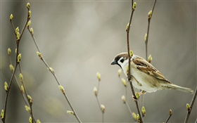 Sparrow, twigs, buds, spring HD wallpaper