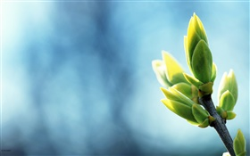 Spring buds close-up, twigs, blue background HD wallpaper
