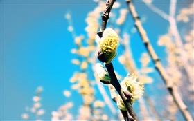 Spring, plant, twigs, buds HD wallpaper