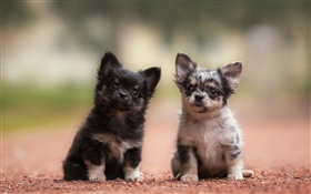 Two dogs, puppies, black and gray HD wallpaper