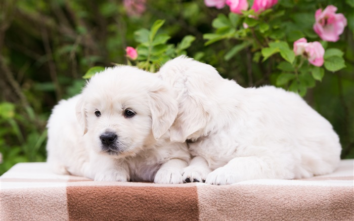 Two puppies, white dogs Wallpapers Pictures Photos Images