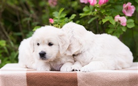 Two puppies, white dogs HD wallpaper