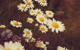 White daisies flowers, petals, bokeh HD wallpaper