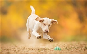 White dog, puppy, jump, play ball HD wallpaper