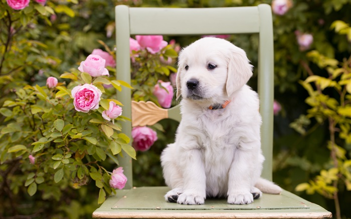 White dog, puppy, rose flowers, chair Wallpapers Pictures Photos Images