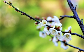White flowers, plum blossoms, spring HD wallpaper