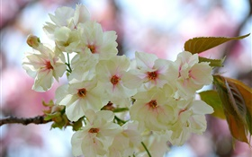 White pink petals, twigs, flowers, spring HD wallpaper