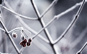 Winter, twigs, berries HD wallpaper
