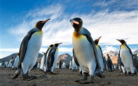 Animals close-up, penguins, sky, clouds HD wallpaper