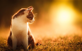 Cat at sunset HD wallpaper