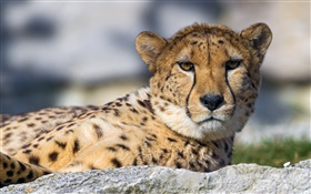 Cheetah, face, eyes, rest HD wallpaper