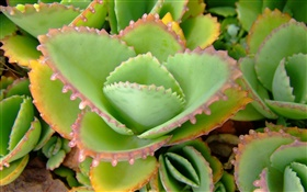 Green aloe leaves close-up HD wallpaper