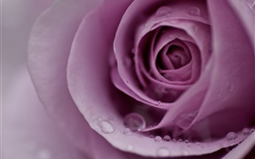 Light purple rose, flower petals, water drops, close-up HD wallpaper