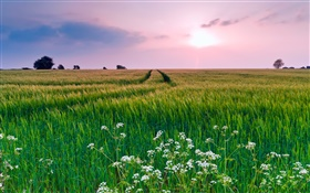 Nature scenery, field, grass, flowers, summer, sunset HD wallpaper