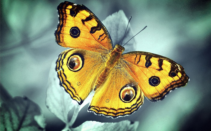 Orange butterfly Wallpapers Pictures Photos Images