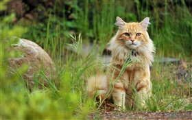 Orange cat in grass HD wallpaper