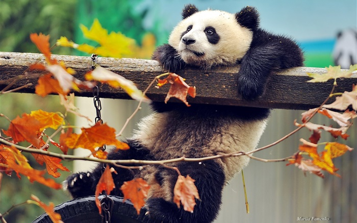 Panda climb tree, yellow leaves, autumn Wallpapers Pictures Photos Images