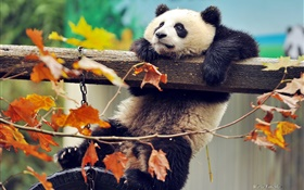 Panda climb tree, yellow leaves, autumn HD wallpaper
