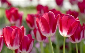 Red tulips, petals, blur HD wallpaper
