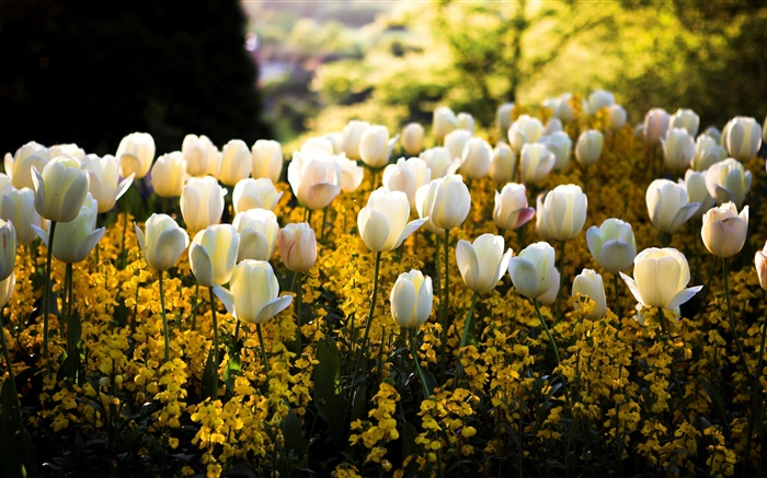Spring, park, white tulips flowers, yellow, blur, sun rays Wallpapers Pictures Photos Images